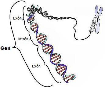 Pengertian Gen, Fungsi Gen dan Sifat-sifat Gen