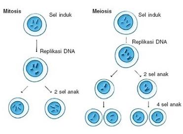 Pengertian Mitosis Dan Meiosis Lengkap