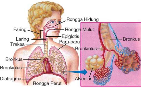 Sistem Pernapasan Pada Manusia, Organ-Organ, dan Gangguan Pernapasan Pada Manusia !